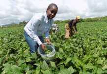 onion farming guide in kenya