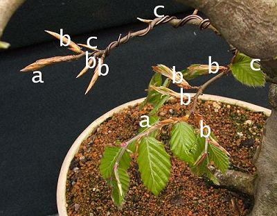bonsai 4 me species guide