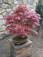 bonsai 4 me species guide